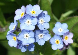 Forget-me-nots. Get it?