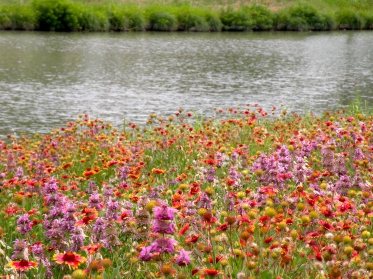 Texas doesn't have fields of lilies; we have wildflowers.